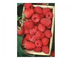 Pomi fructiferi, vita de vie, arbusti fructiferi