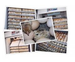 Incubator oua Incubatoare oua