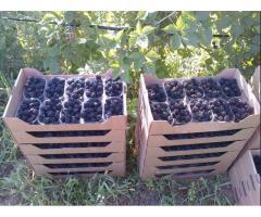 Arbusti fructiferi de calitate la preturi corecte