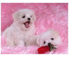 Vand Bichon Maltez Pufos  Cadou gratis Royal Canin