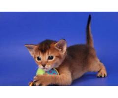 Vand pisici abisiniene bucuresti