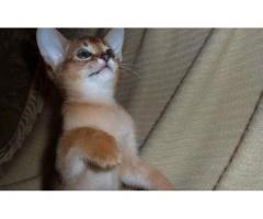 Vand pisici abisiniene bucuresti - Poza 3/3