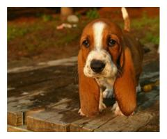 Vand basset hound B BV IS CT GL CJ TM CV SM