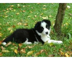 Vand border collie B BV IS CT GL CJ TM CV SM - Poza 1/4