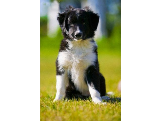 Vand border collie B BV IS CT GL CJ TM CV SM - 2/4
