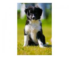 Vand border collie B BV IS CT GL CJ TM CV SM - Poza 2/4