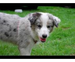 Vand border collie B BV IS CT GL CJ TM CV SM - Poza 3/4