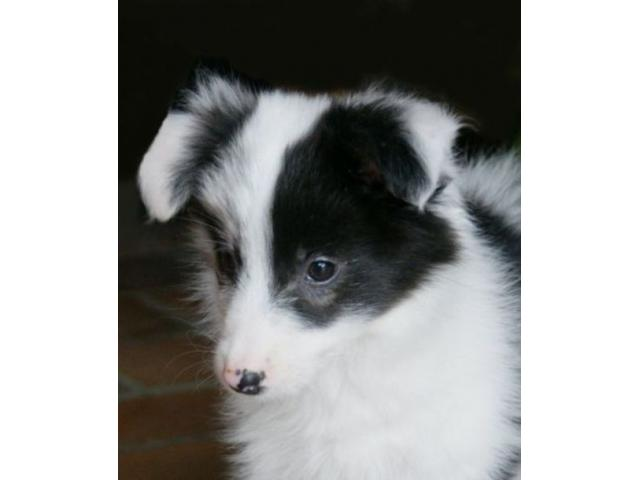 Vand border collie B BV IS CT GL CJ TM CV SM - 4/4