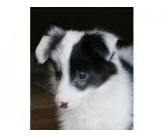 Vand border collie B BV IS CT GL CJ TM CV SM - Poza 4/4