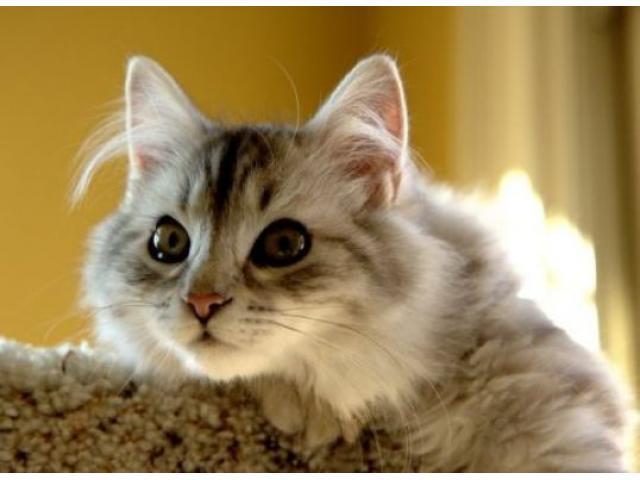 Vand pisici siberiene B BV IS CT GL CJ TM CV SM - 1/3