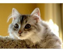 Vand pisici siberiene B BV IS CT GL CJ TM CV SM - Poza 1/3