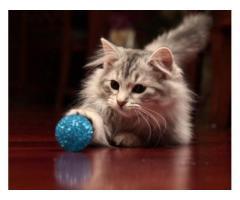 Vand pisici siberiene B BV IS CT GL CJ TM CV SM - Poza 2/3
