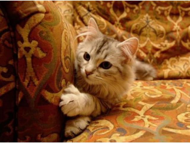 Vand pisici siberiene B BV IS CT GL CJ TM CV SM - 3/3