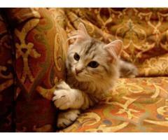 Vand pisici siberiene B BV IS CT GL CJ TM CV SM - Poza 3/3
