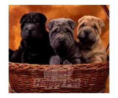 Vand shar pei B BV IS CT GL CJ TM CV SM