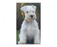 Vand schnauzer pitic B BV IS CT GL CJ TM CV SM