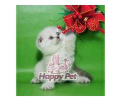 Vand scottish fold B BV IS CT GL CJ TM CV SM - Poza 1/4