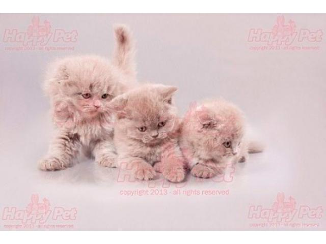 Vand scottish fold B BV IS CT GL CJ TM CV SM - 2/4
