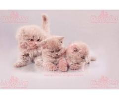 Vand scottish fold B BV IS CT GL CJ TM CV SM