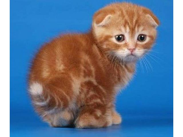 Vand scottish fold B BV IS CT GL CJ TM CV SM - 4/4