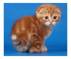 Vand scottish fold B BV IS CT GL CJ TM CV SM - Poza 4/4