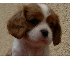 Vand cavalier king charles B BV IS CT GL CJ TM CV SM