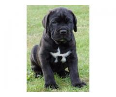 Vand cane corso  B BV IS CT GL CJ TM CV SM