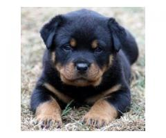 Vand rottweiler B BV IS CT GL CJ TM CV SM