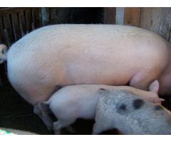 Vand porci grasi pentru fiecare buzunar