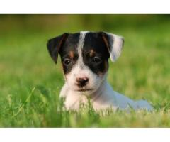 Vand jack russel B BV IS CT GL CJ TM CV SM