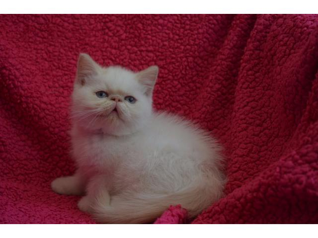 Vand exotic shorthair B BV IS CT GL CJ TM CV SM - 1/4