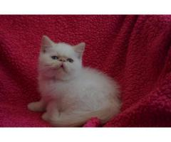 Vand exotic shorthair B BV IS CT GL CJ TM CV SM - Poza 1/4