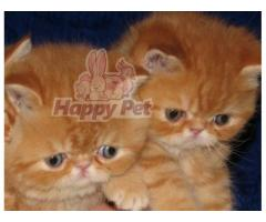 Vand exotic shorthair B BV IS CT GL CJ TM CV SM - Poza 2/4
