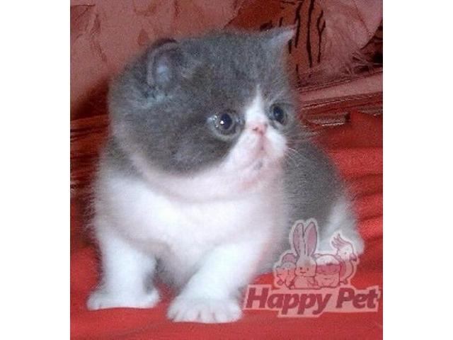 Vand exotic shorthair B BV IS CT GL CJ TM CV SM - 3/4