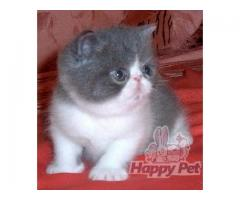 Vand exotic shorthair B BV IS CT GL CJ TM CV SM - Poza 3/4