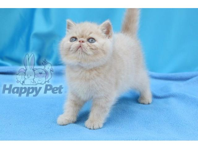 Vand exotic shorthair B BV IS CT GL CJ TM CV SM - 4/4