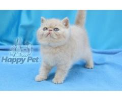 Vand exotic shorthair B BV IS CT GL CJ TM CV SM - Poza 4/4
