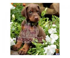 Vand dobermann B BV IS CT GL CJ TM CV SM - Poza 1/4