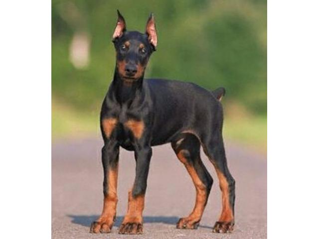 Vand dobermann B BV IS CT GL CJ TM CV SM - 4/4
