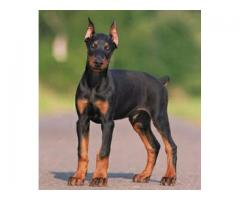 Vand dobermann B BV IS CT GL CJ TM CV SM - Poza 4/4