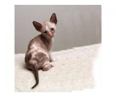 Vand cornish rex B BV IS CT GL CJ TM CV SM