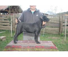 Catei cane corso italiano de vanzare