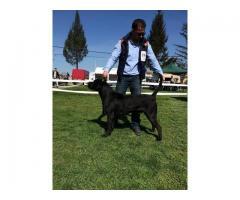 Canisa vinde caini adulti  pentru paza si protectie