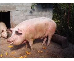 Vând porc pentru sacrificat