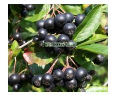 Arbusti fructiferi: Aronia, Agris, Goji - Poza 1/3