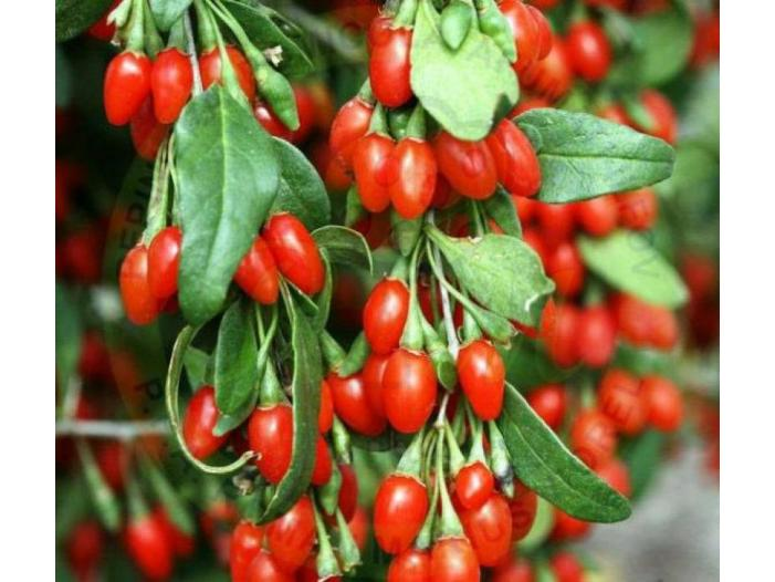 Arbusti fructiferi: Aronia, Agris, Goji - 3/3