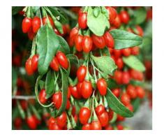 Arbusti fructiferi: Aronia, Agris, Goji - Poza 3/3
