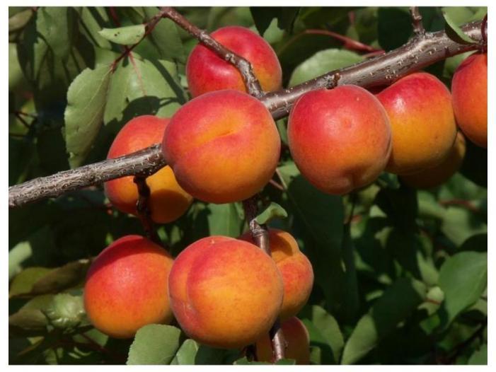 Pomi fructiferi altoiti Certificati - 1/3