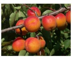 Pomi fructiferi altoiti Certificati - Poza 1/3
