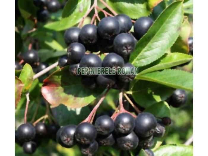 Arbusti fructiferi: Aronia, Agris, Goji - 1/3